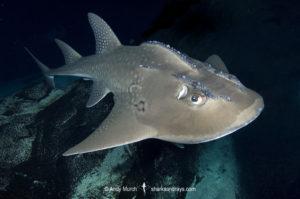 Bowmouth Guitarfish