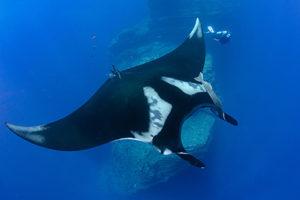 Giant Manta Ray Diving