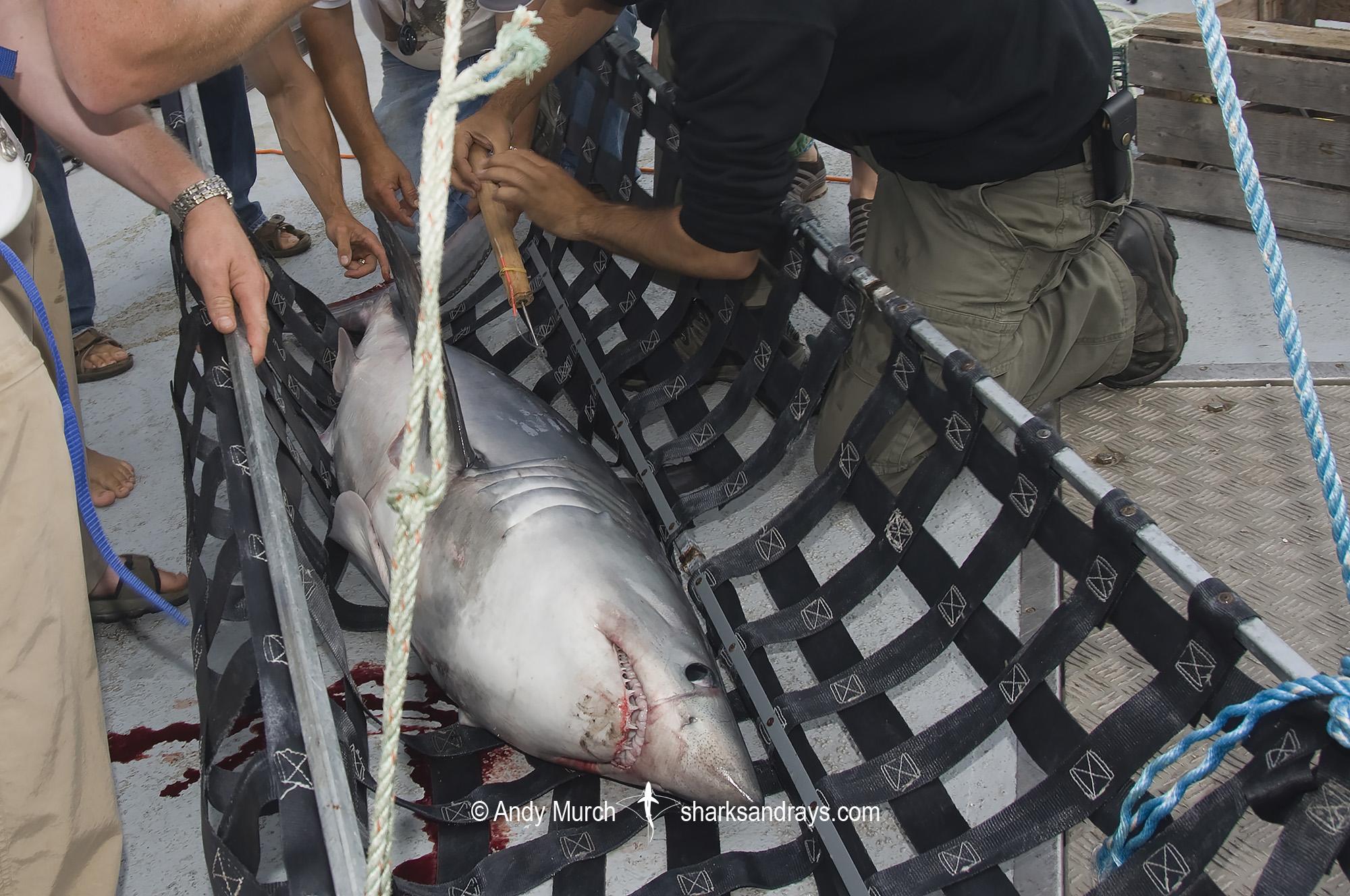 Porbeagle Shark Tagging