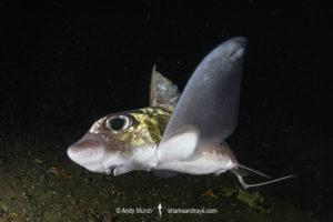 Rabbit Fish