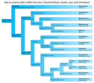 key to orders within the class chondrichthyes
